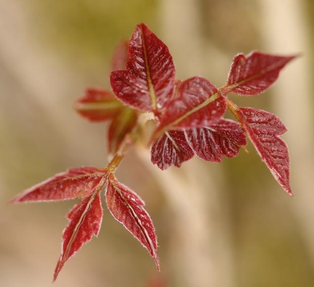 13 Poison Ivy 3W5A0011