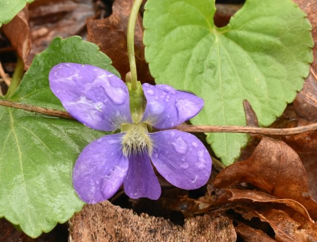 15 Common Blue Violet DSC_0081