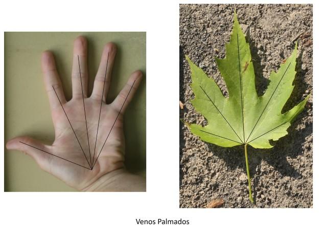 pinnate vs palmate venation