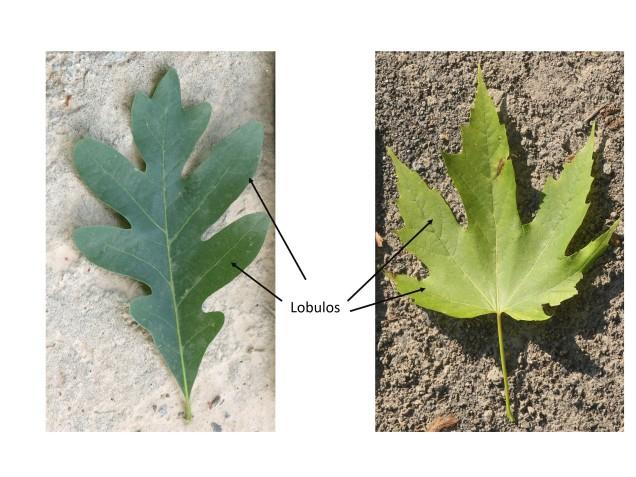 leaf lobes