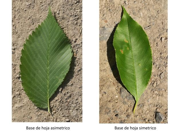 Symmetric vs. asymmetric leaf bases